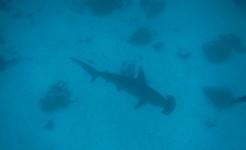galapagos singles diving tour hammerhead shark
