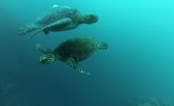 galapagos singles scuba diving trip turtles